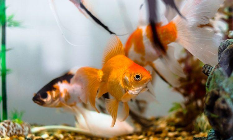 Пасьянс онлайн «Золотая рыбка»